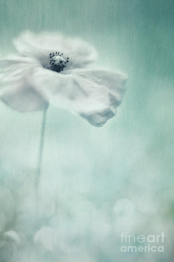 Poppy Photograph - White Poppy by Priska Wettstein