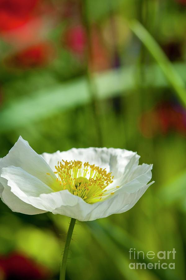 White Poppy Stem Yellow Center Photograph by David Zanzinger