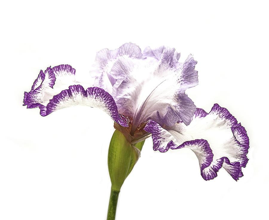 Nature Photograph - White Purple Iris by Scott Cordell