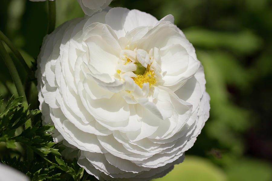 White Ranunculus Flower Photograph By Mark Michel