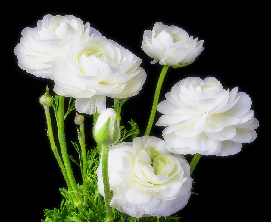 White ranunculus flowers photograph by garry gay horizontal photograph white ranunculus flowers by garry gay mightylinksfo