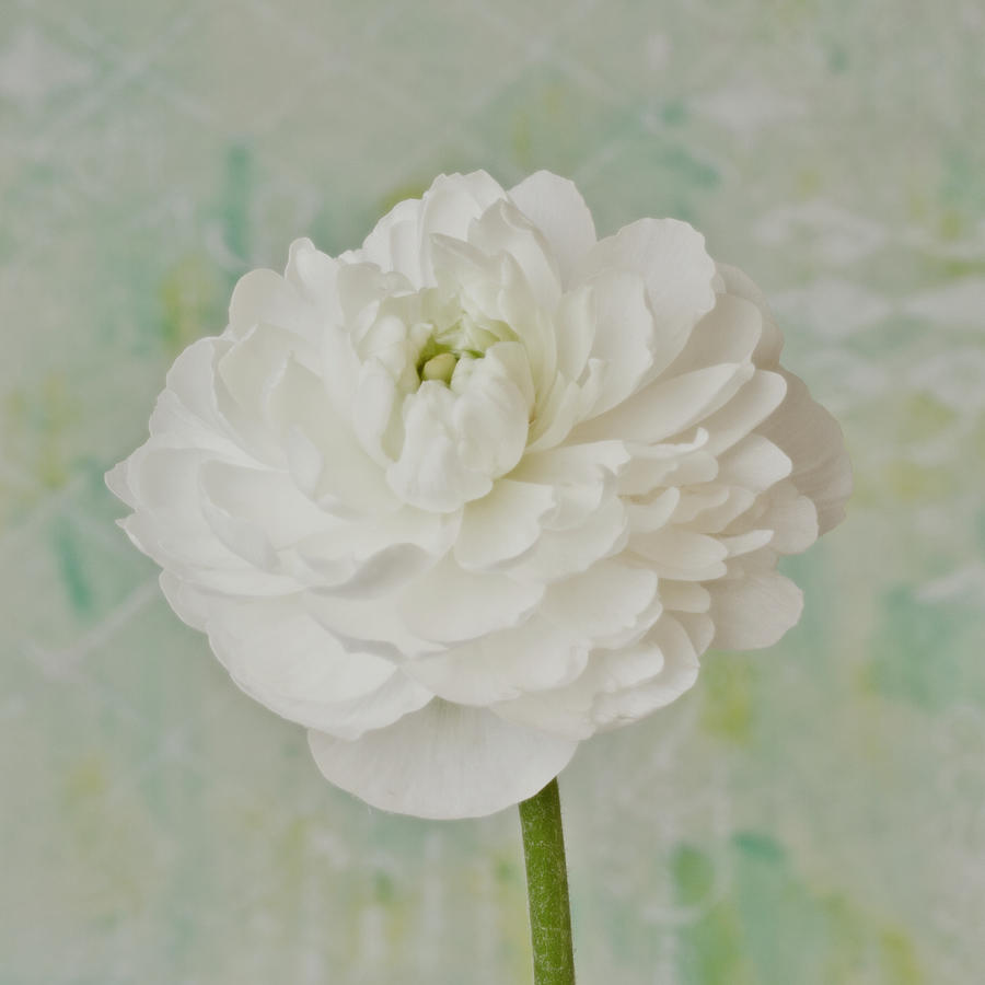 Ranunculus Photograph - White Ranunculus by Sandra Foster