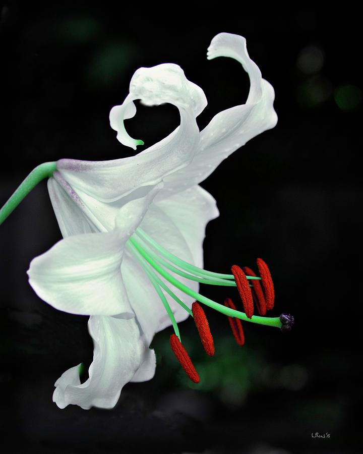 Lily Photograph -  White, Red And Green Lily by Bill Linn
