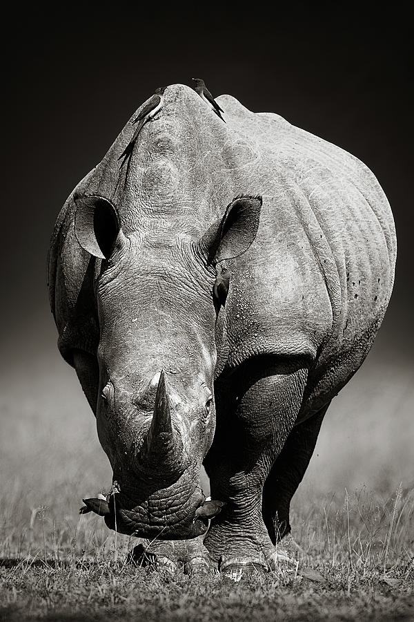 White Rhinoceros  In Due-tone Photograph