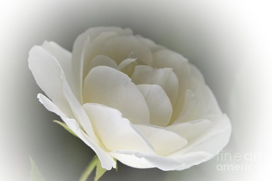 3d Digital Art - white Rose -1- by Issabild -