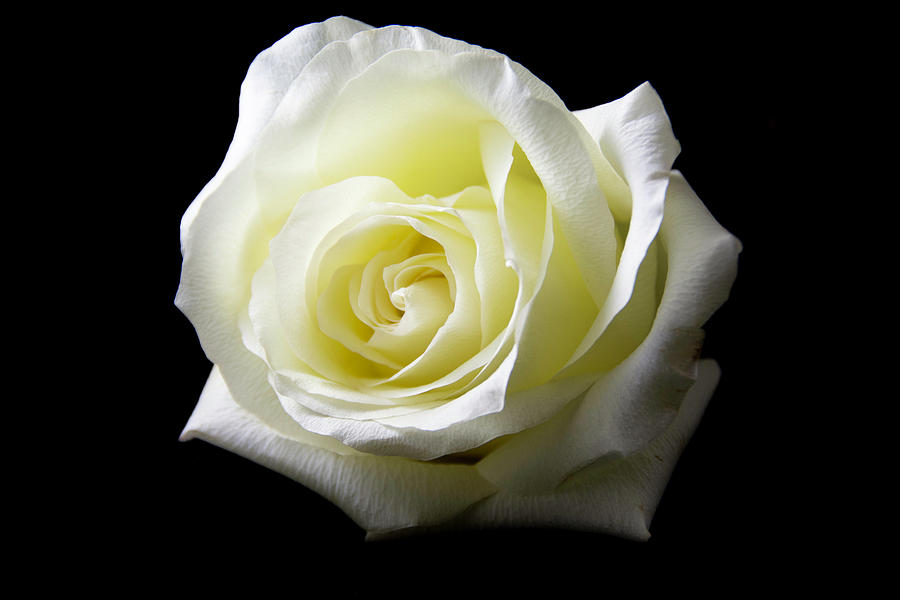 Flower Photograph - White Rose-11 by Jennifer Wick