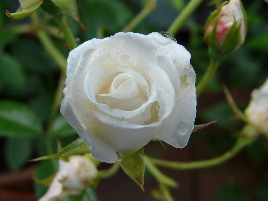 Rose Photograph - White Rose After Rain 2 by Valerie Ornstein
