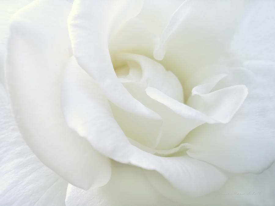 Rose Photograph - White Rose Angel Wings by Jennie Marie Schell