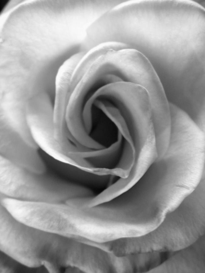 Rose Photograph - White Rose by Beverly Johnson