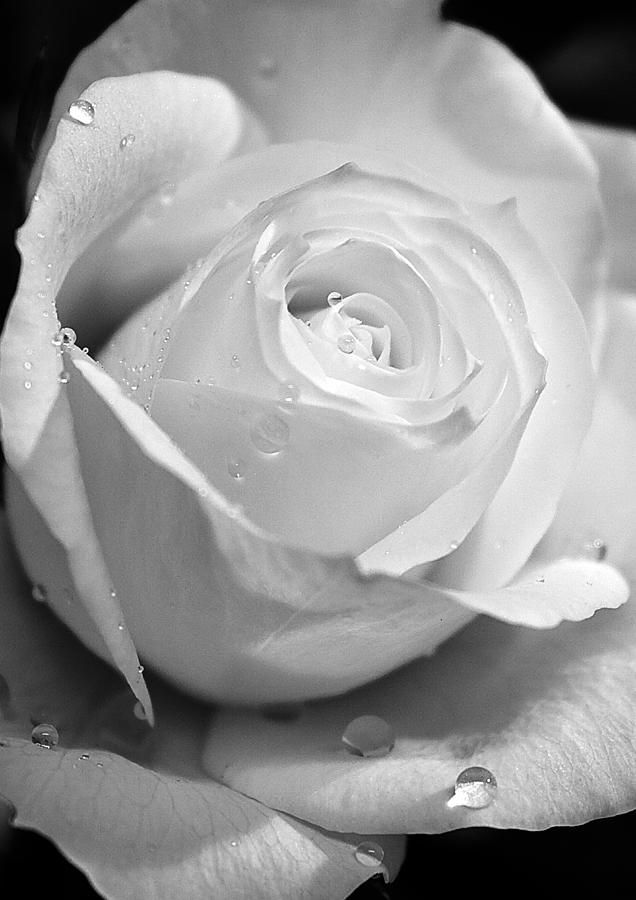 White Rose Photograph - White Rose by Brian Roscorla