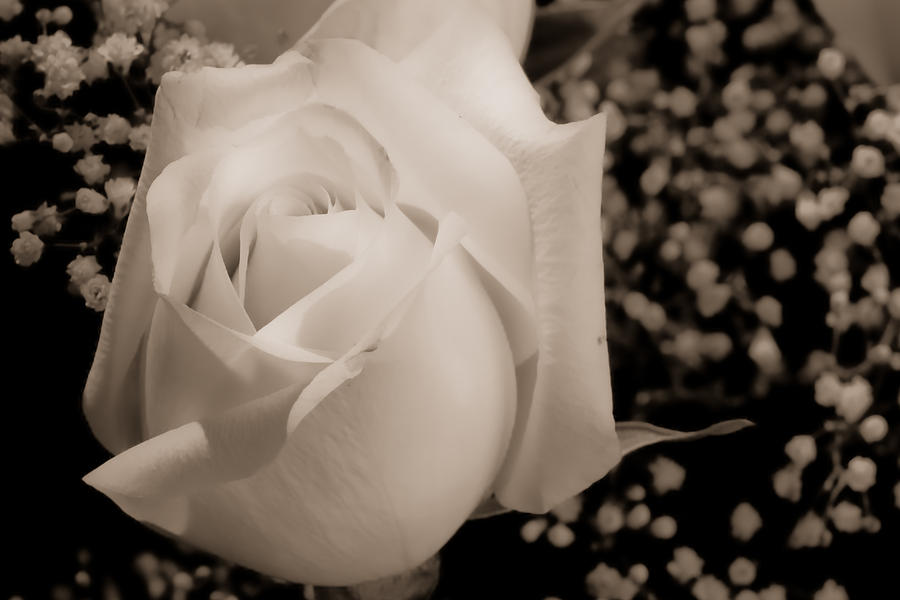 Flowers Photograph - White Rose Bw Fine Art Photography Print by James BO  Insogna