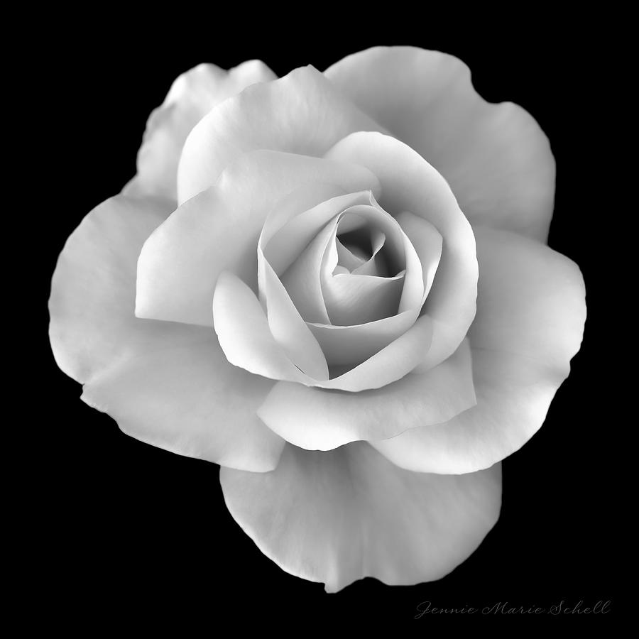 White rose flower in black and white by jennie marie schell