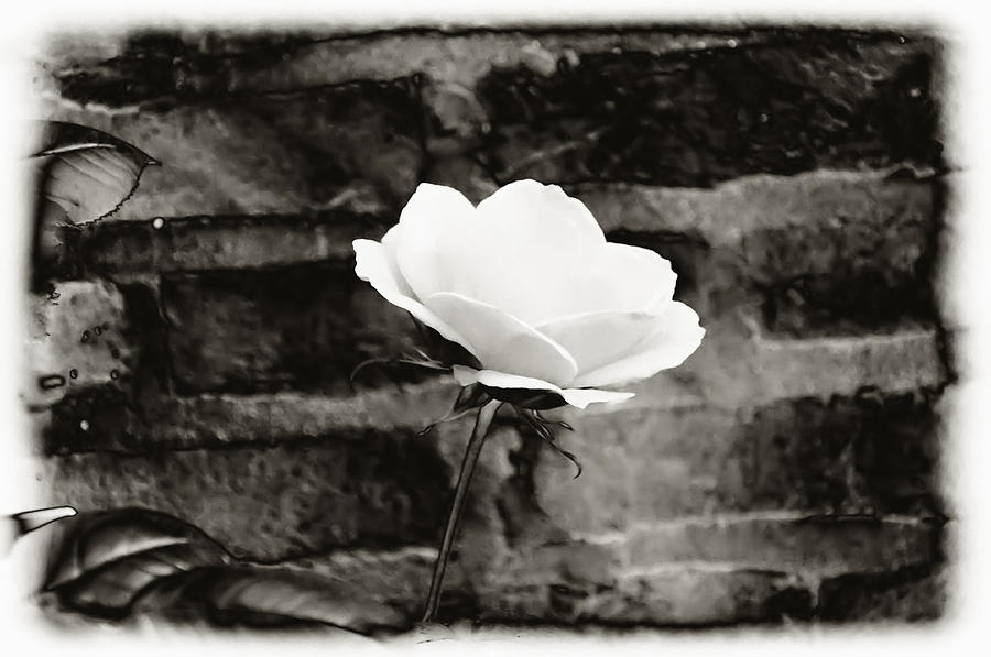 Brick Wall Photograph - White Rose In Black And White by Bill Cannon