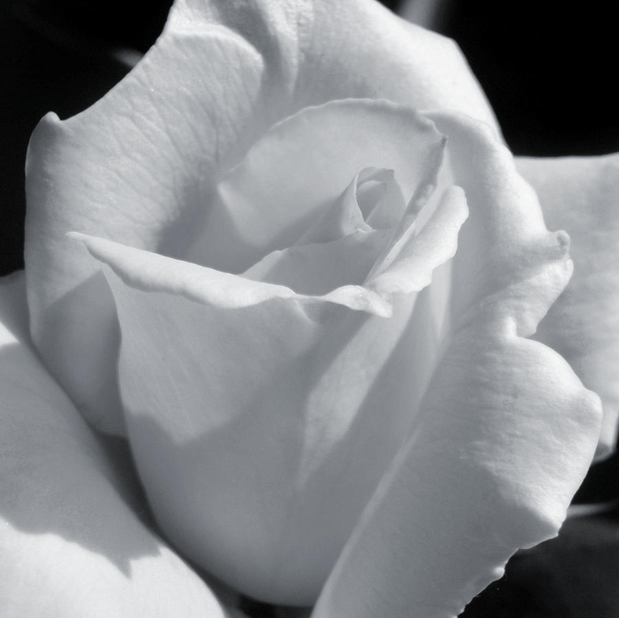 Rose Photograph - White Rose by JAMART Photography