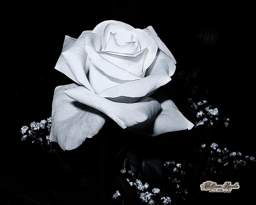 White Rose N Babies Breath by William Havle