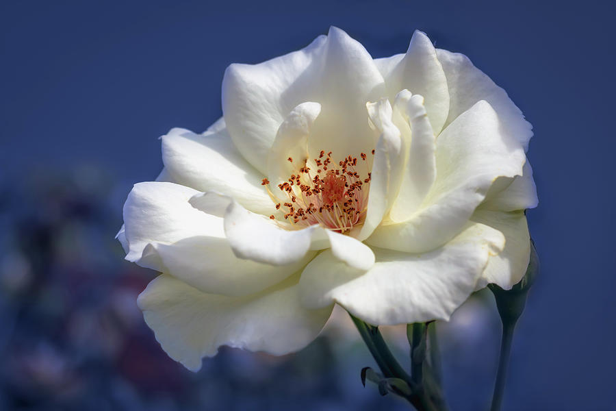White Rose On A Blue Background Photograph