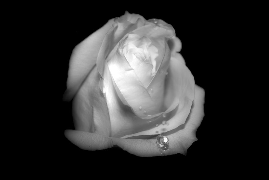 Rose Photograph - White Rose  by Gulf Island Photography and Images