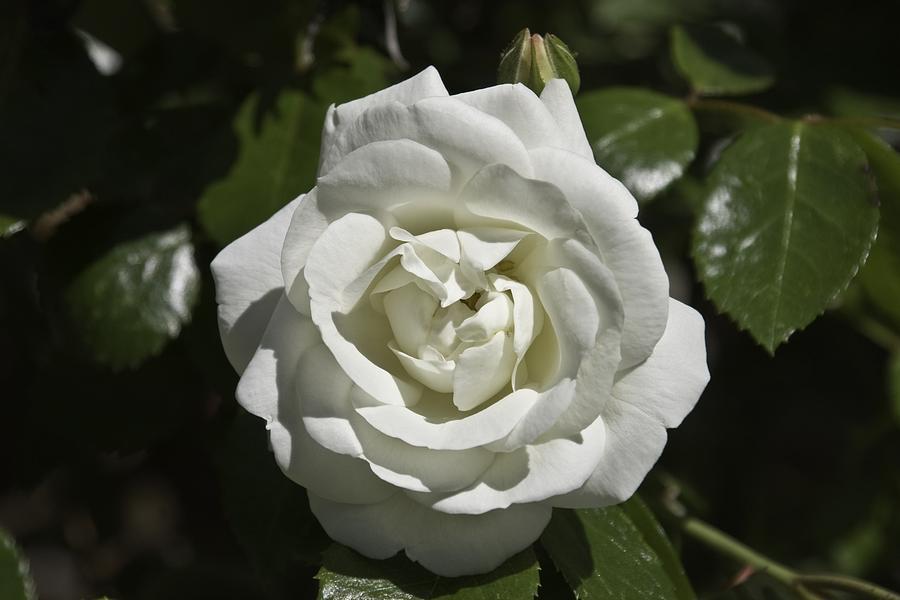 Flower Photograph - White Rose by Steve Kenney