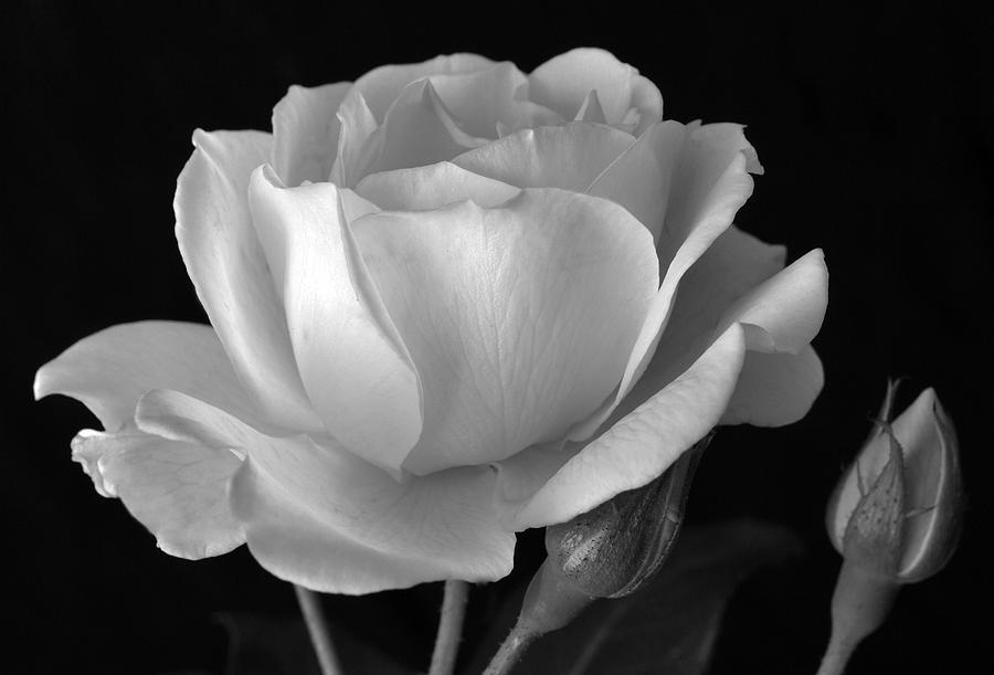 White Rose Photograph - White Rose by Terence Davis