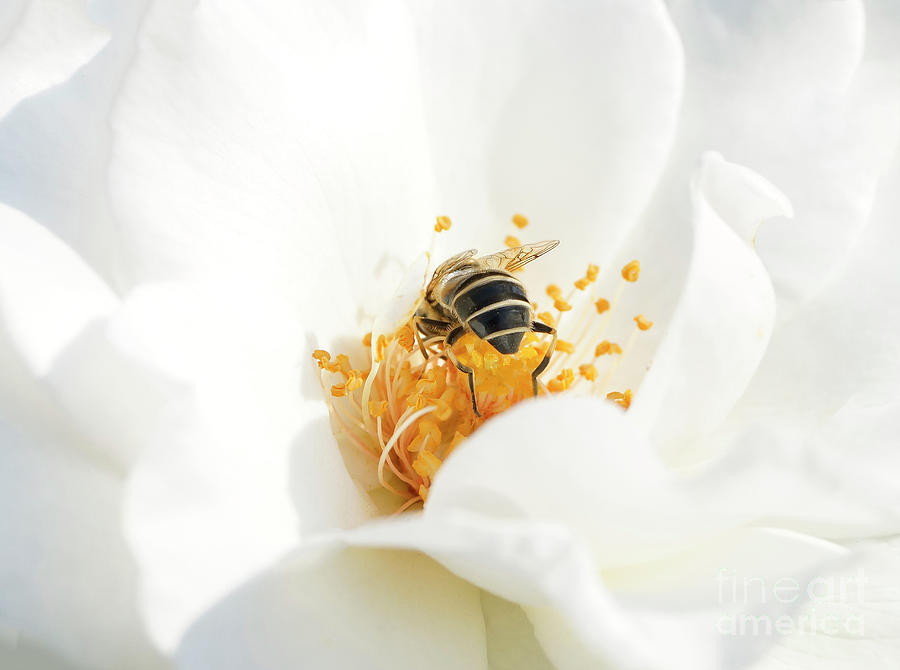 Looking for gold in a white rose by Mariella Wassing