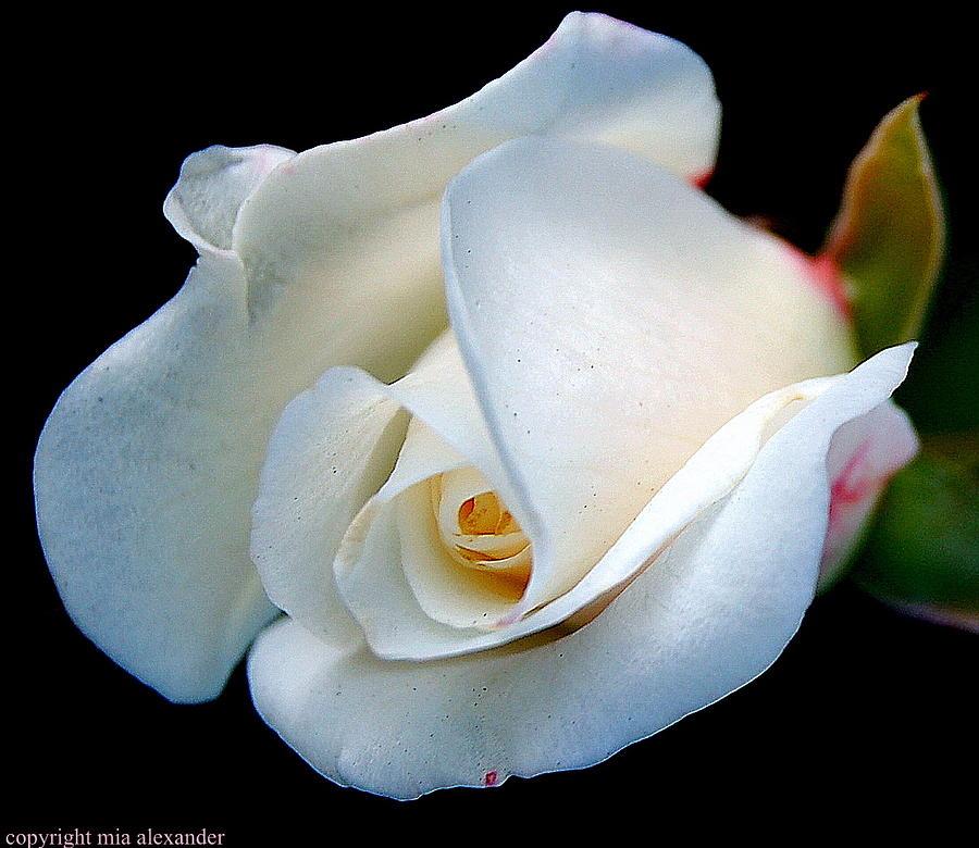 White rosebud  by Mia Alexander
