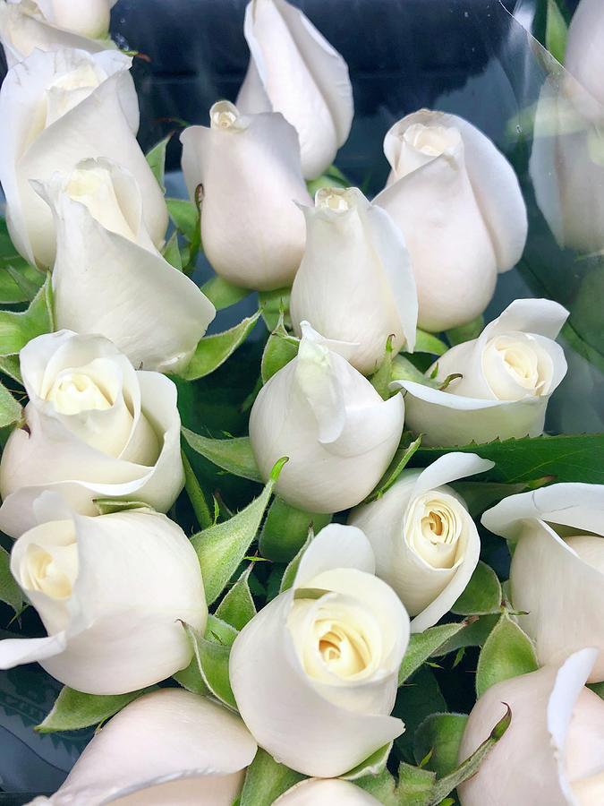 White roses by Dina Calvarese