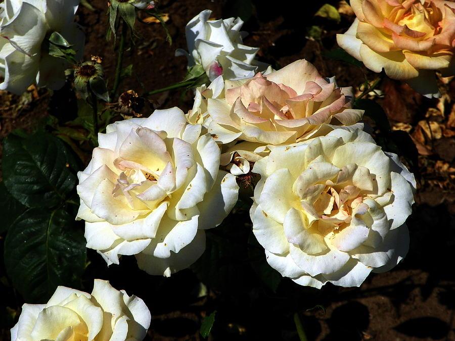 White Roses Photograph by Vineta Marinovic
