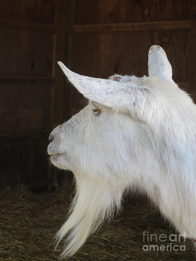 White Saanen Goat