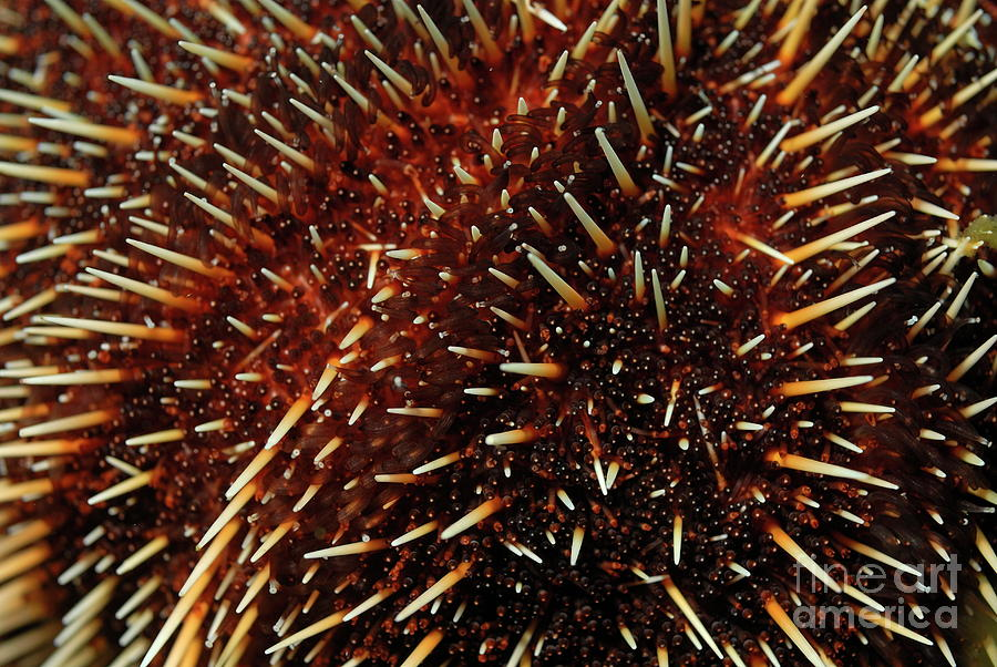 Close Up Photograph - White Sea Urchin by Sami Sarkis