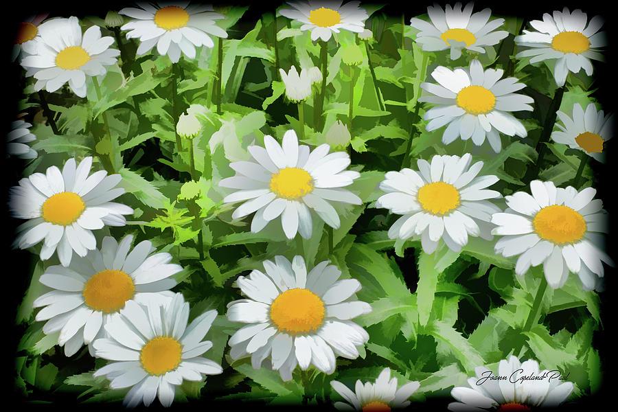 White Shasta Daisies  by Joann Copeland-Paul