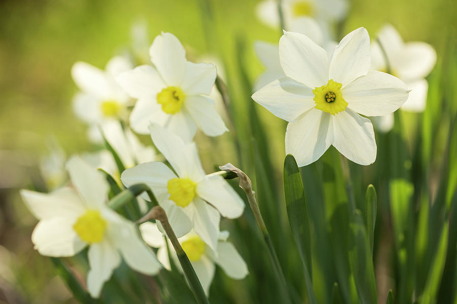 Artist Photograph - White Small-cupped Daffodils by Iris Richardson