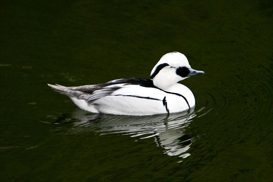 White Photograph - White Smew  Duck On Silver Pond by Douglas Barnett