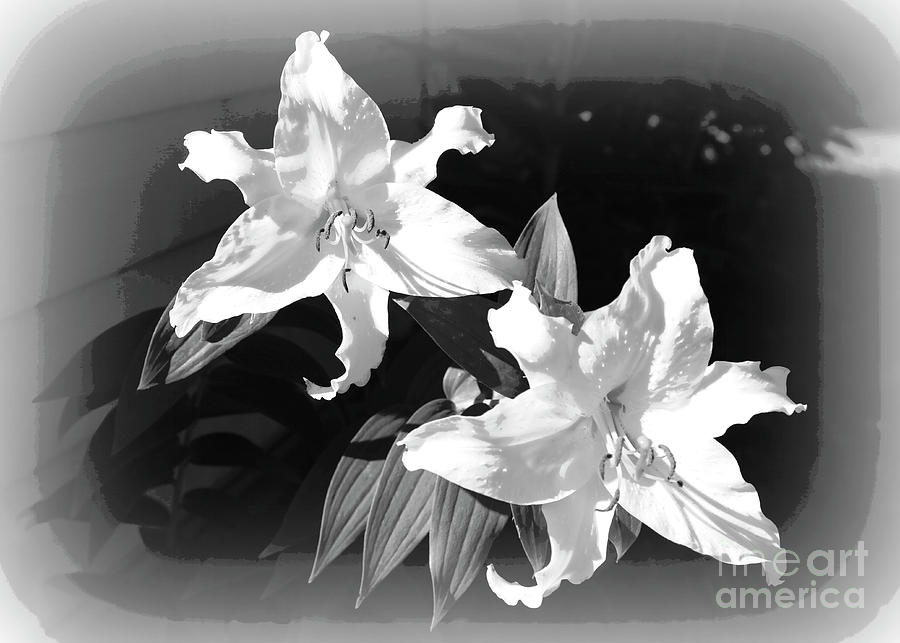 White stargazer lilies black and white photograph by carol groenen lilies photograph white stargazer lilies black and white by carol groenen mightylinksfo