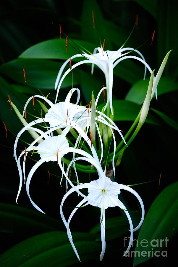 Flower Photograph - White Stripes by Cesar Marino