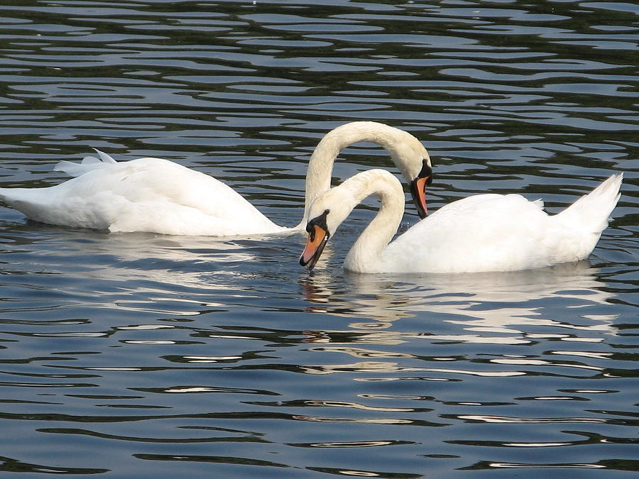 White Swans Photograph - White Swans by Joyce Woodhouse