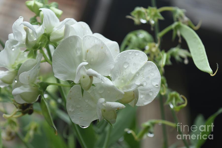 White sweet pea flowers with dew drops on the petals photograph by sweet pea photograph white sweet pea flowers with dew drops on the petals by dejavu mightylinksfo