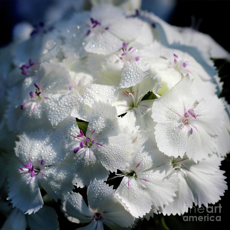 White sweet william flower square photograph by karen adams sweet william photograph white sweet william flower square by karen adams mightylinksfo