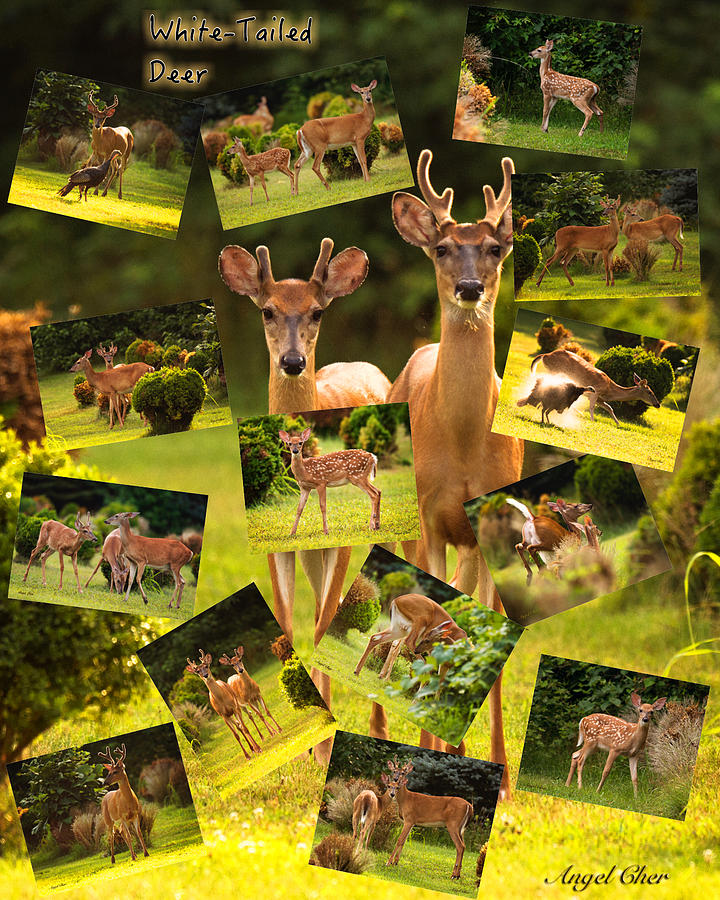 Deer Photograph - White-tailed Collage by Angel Cher
