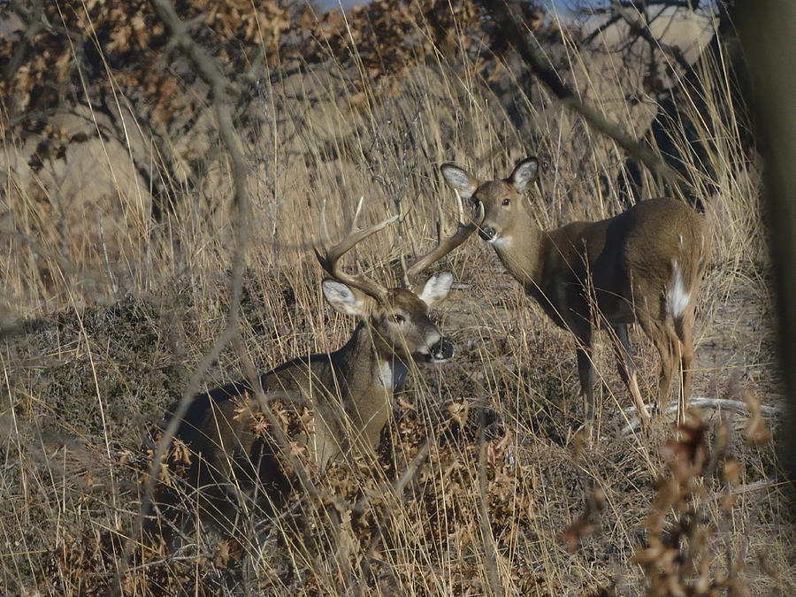 white tailed deer buck and doe in prairie photograph by mark wallner