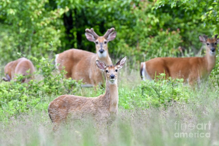 White-tailed Deer Doe Standing In Front Of Three Buck Deer Photograph