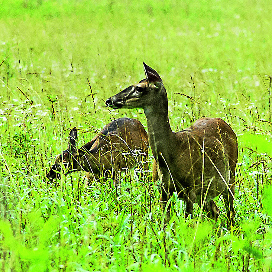 White-tailed Deer Photograph - White-tailed Deer by Norman Johnson