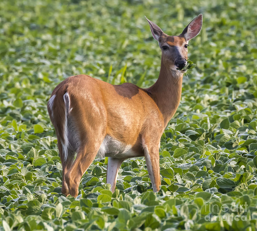 Canon Photograph - White-tailed Deer by Ricky L Jones