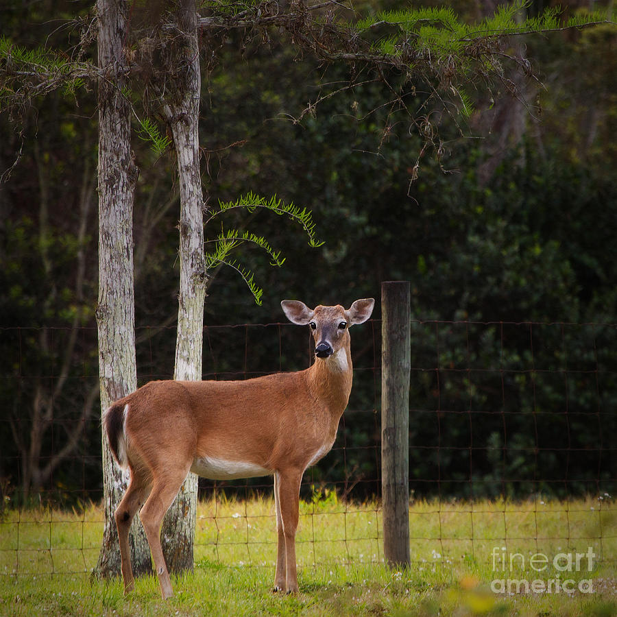 White-tailed Deer Wall Art - 0257 Photograph