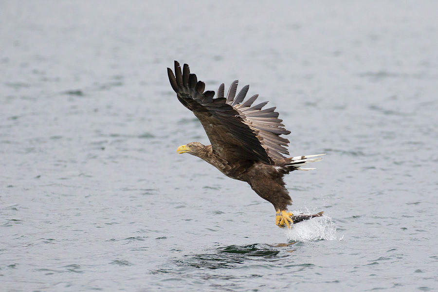 White-Tailed Eagle Catching Dinner by Karen Van Der Zijden