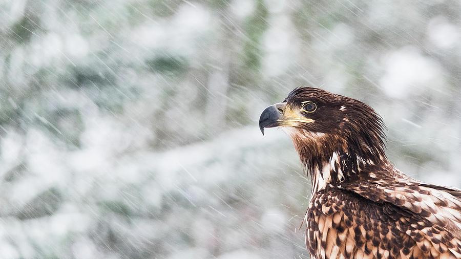 White-tailed Eagle Photograph - White-Tailed Eagle by Kolbein Svensson