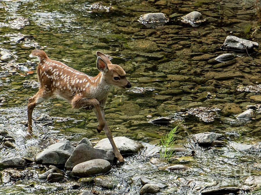 White-tailed Deer Photograph - White-tailed Fawn At Vichy Springs Resort In Ukiah by David Oppenheimer