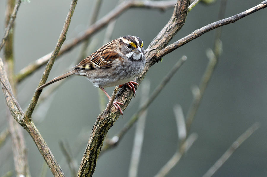White Throated Sparrow Photograph - White Throated A Sparrow by Laura Mountainspring