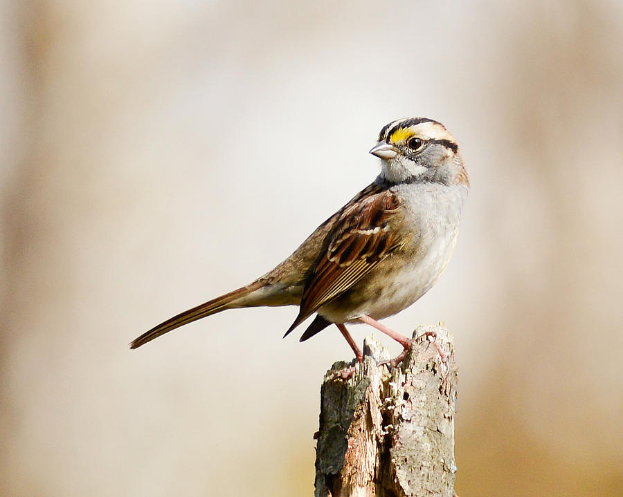 White-Throated Sparrow by Jean A Chang