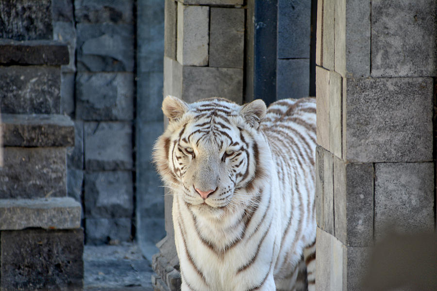 White Tiger by Ingrid Dendievel