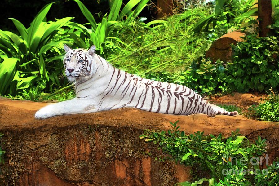 Tiger Photograph - White Tiger by MotHaiBaPhoto Prints